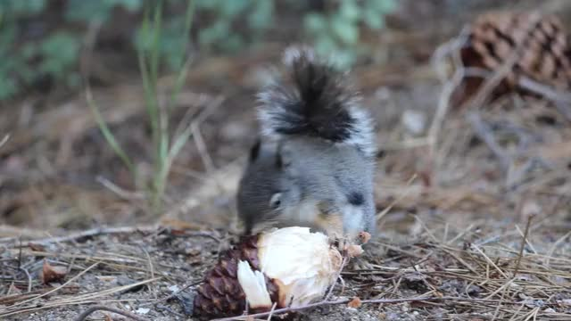 Watch this animal GIF on Gfycat. Discover more Squirrel Snacking, Voat, animal, animals, squirrel, squirrel snacking, squirrels, voat GIFs on Gfycat