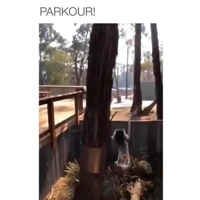 Watch Koala attempting to do Parkour GIF by @chieknlegs on Gfycat. Discover more Diesel_Doctor GIFs on Gfycat