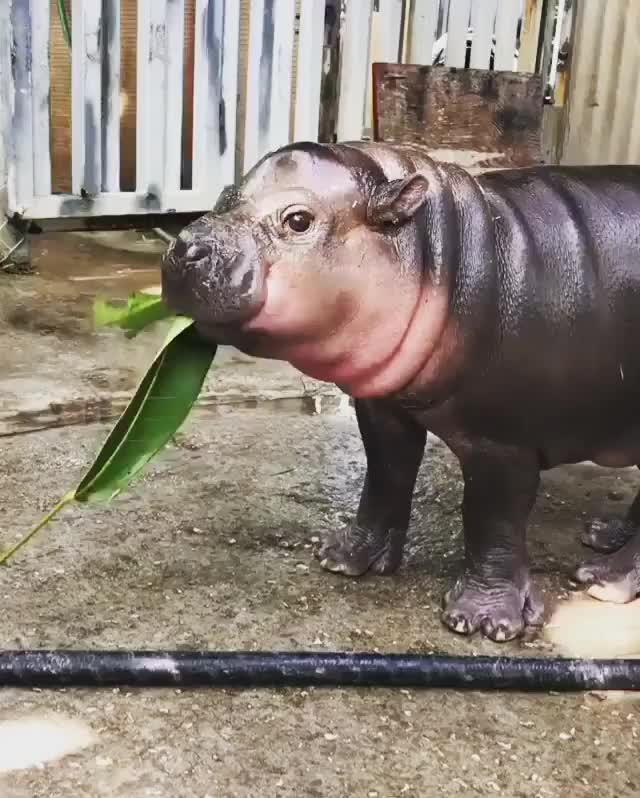 Watch and share Hippopotamus GIFs and Hippo GIFs by FarSizzle on Gfycat