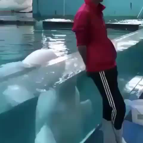 Attention seeking beluga GIFs