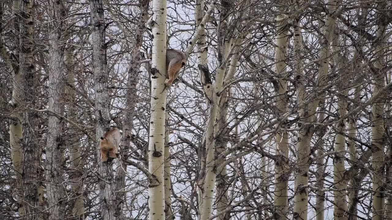 nature, The sounds of a male lynx chasing a female up a tree in a display of courtship GIFs