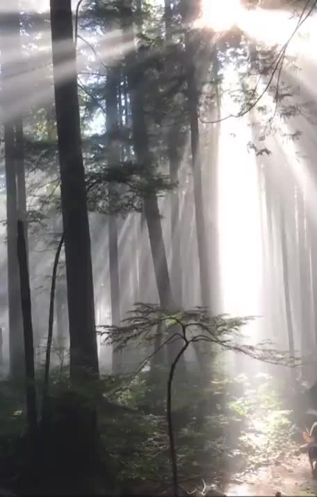nature, trees, Rays of light shining through the trees in Vancouver, Canada GIFs