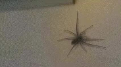 Watch this spider GIF on Gfycat. Discover more spider GIFs on Gfycat