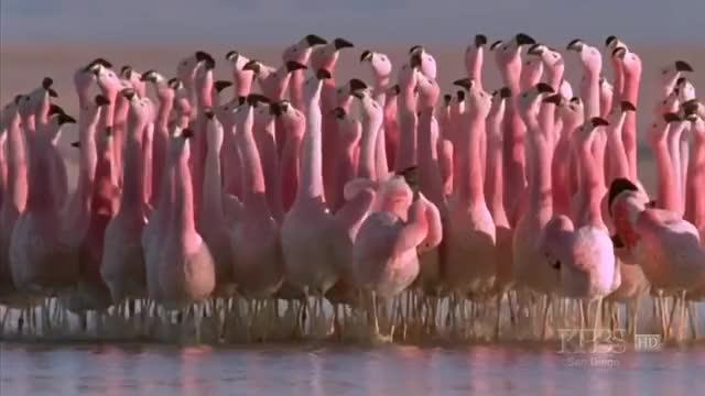 """Watch (Hilarious) Andean flamingo mating dance   NATURE   """"Andes: The Dragon's Back"""" GIF on Gfycat. Discover more flamingo, flamingos, publicfreakout GIFs on Gfycat"""
