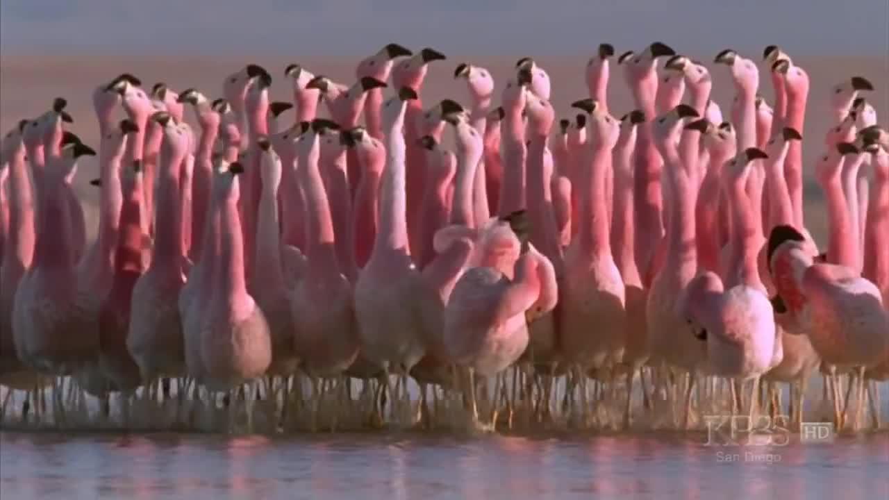 flamingo, flamingos, publicfreakout, (Hilarious) Andean flamingo mating dance | NATURE |