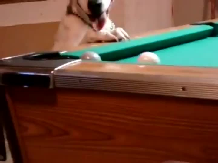 Dog playing snooker GIFs