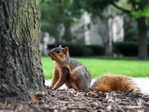 Watch and share Fox Squirrel GIFs and Real Animal GIFs on Gfycat