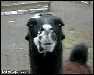 Watch and share Lama GIFs on Gfycat