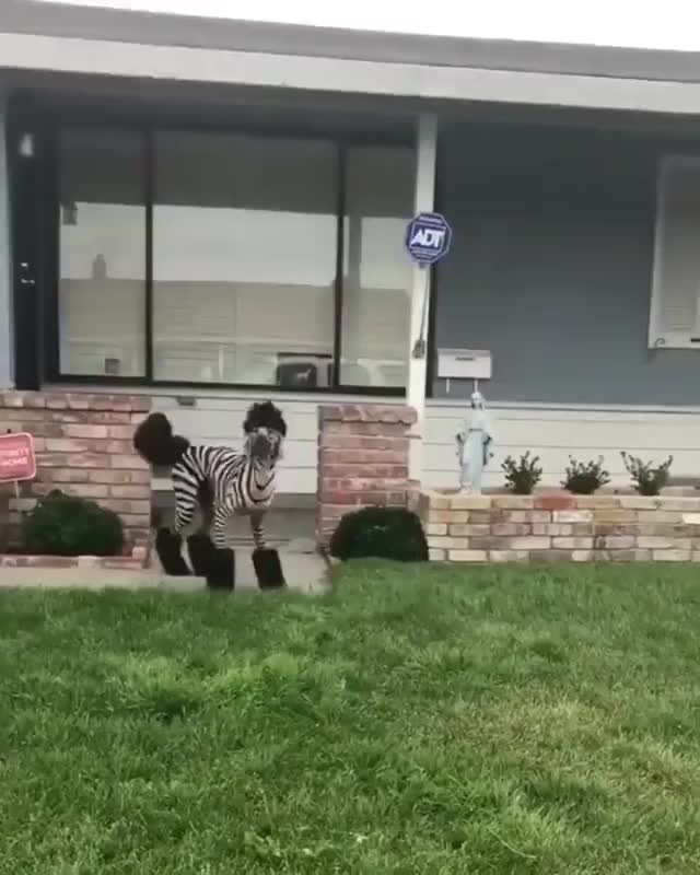 Watch and share She Loves Her Halloween Costume-Zebra-Doodle GIFs by MyNameGifOreilly on Gfycat