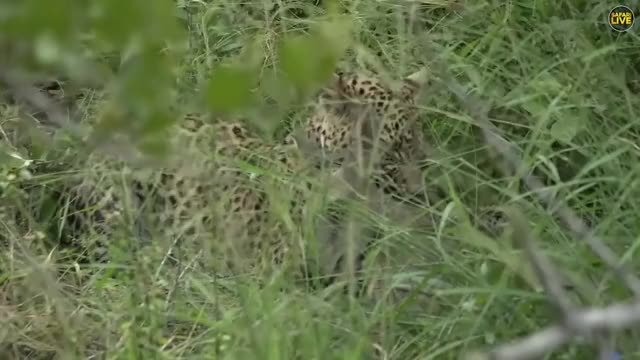 Watch and share Leopard Killing A Duiker GIFs by Pardusco on Gfycat