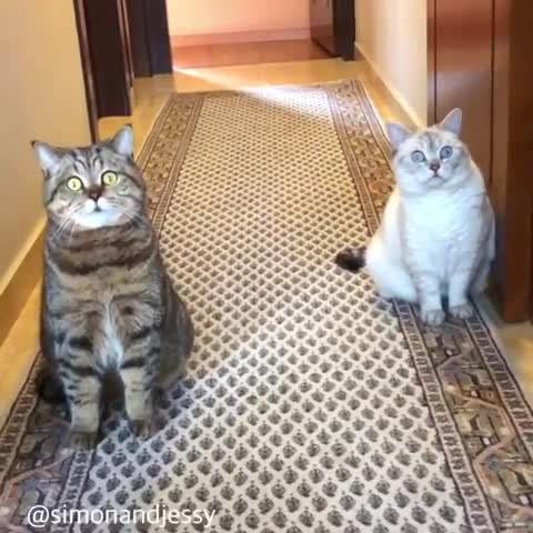 cat, cats, funny, HYPMEOWTIZED! GIFs