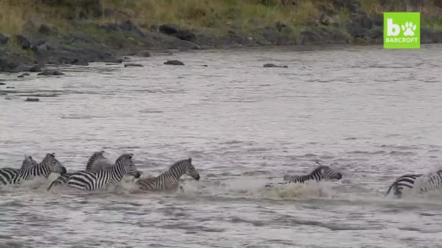 Watch and share Crocodiles Swarm And Devour A Zebra GIFs by Pardusco on Gfycat