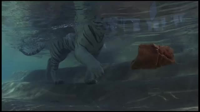 Watch Bengal tiger GIF on Gfycat. Discover more AnimalsBeingJerks, animalsbeingjerks GIFs on Gfycat