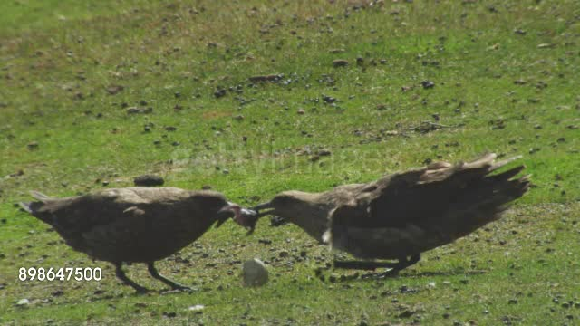 A pair of Skuas rip a penguin chick in half GIFs