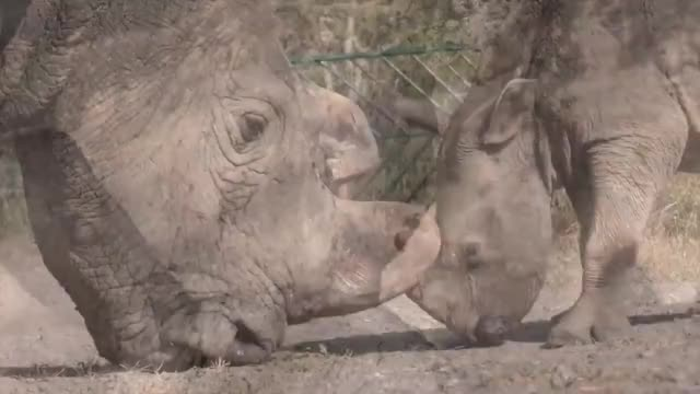 Watch The last male northern white rhino is teaching a southern white rhino orphan to spar.  GIF by PM_ME_STEAM_K3YS (@pmmesteamk3ys) on Gfycat. Discover more related GIFs on Gfycat