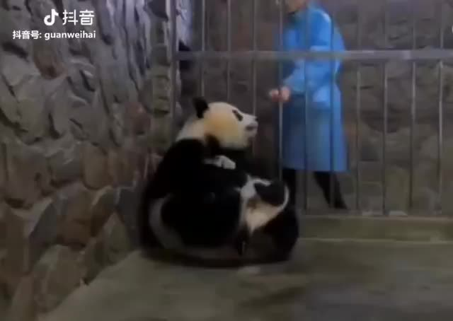 Watch this panda GIF on Gfycat. Discover more panda, pandas GIFs on Gfycat