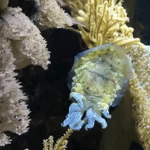 Watch and share Cuttlefish GIFs on Gfycat