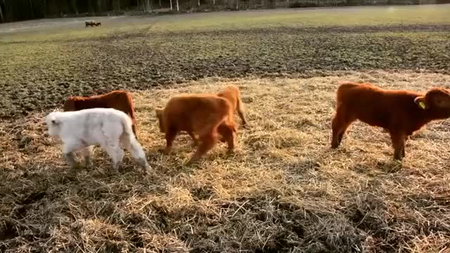 Watch /r/Animals_Playing - Video by ratiaranch GIF by @cakejerry on Gfycat. Discover more aww, cows, cute GIFs on Gfycat