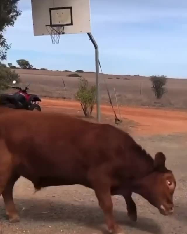 Watch and share Animals Playing GIFs and Cow Basketball GIFs by lnfinity on Gfycat
