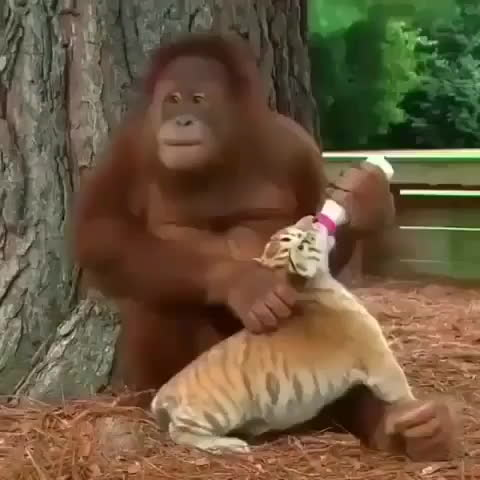 aww, An Orangutan feeding and cuddling a baby tiger GIFs