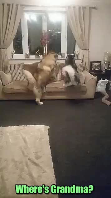 Huskies realize Grandma is in the house - gif