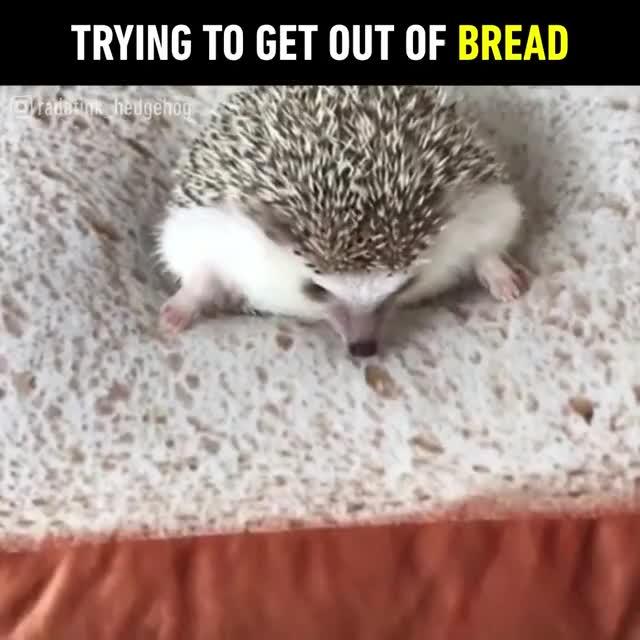 Watch and share Cute Hedgehog GIFs on Gfycat