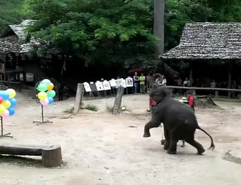 Watch and share Elephants GIFs and Thailand GIFs on Gfycat