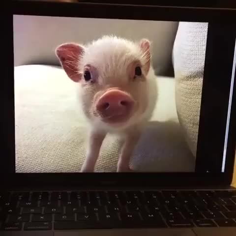 Watch this pig GIF on Gfycat. Discover more aww, pig GIFs on Gfycat