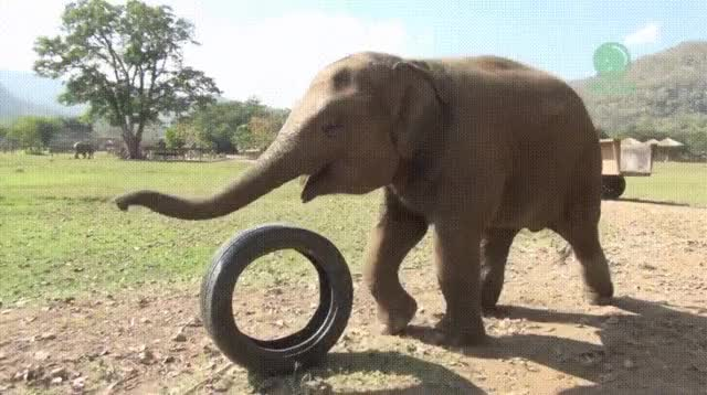 Watch Baby elephant can't stop playing GIF on Gfycat. Discover more Animals, Cute, Elephant GIFs on Gfycat