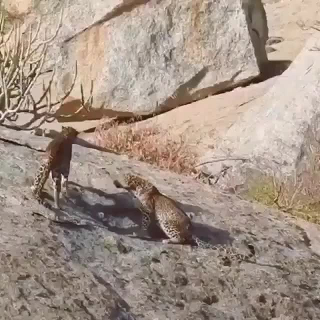 Two leopards get into a fight and end up rolling off a cliff GIFs