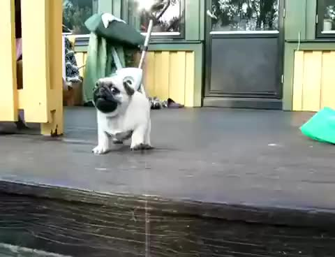 Watch and share Pugs GIFs on Gfycat