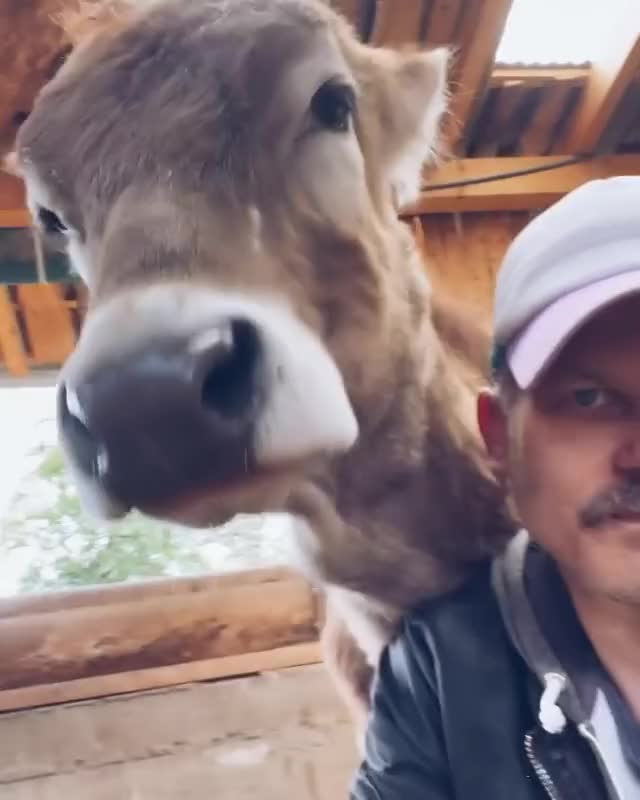 Watch and share Rescued Cows Who Love Their Caretaker At Lebenshof Odenwald Animal Sanctuary GIFs by lnfinity on Gfycat