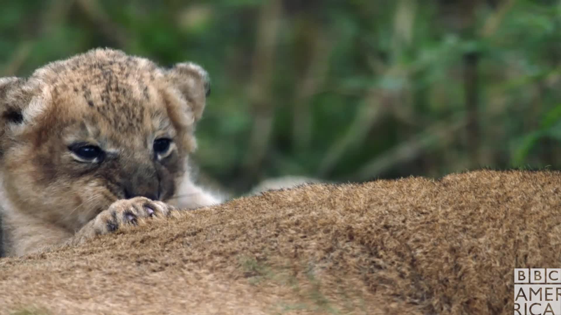 animal, animals, awww, bbc america, bbc america: dynasties, dynasties, lion, lions, sleep, sleepy, tired, zzz, Dynasties Lion Cub Sleepy GIFs