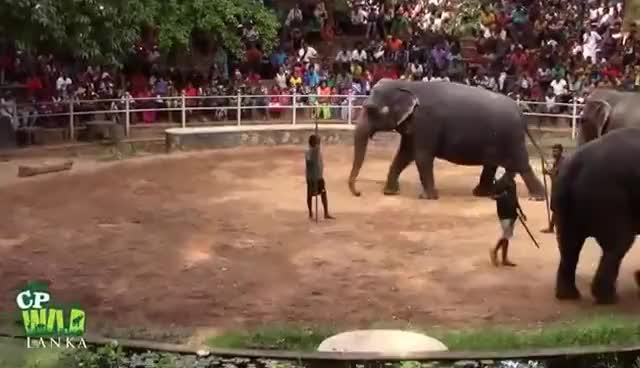 Watch and share Elephants Dance At Dehiwala National Zoo (Sri Lanka) GIFs on Gfycat