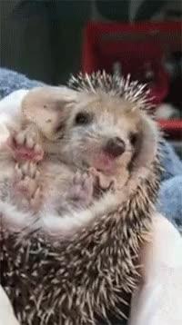 Watch and share Sleepy Hedgehog GIFs on Gfycat