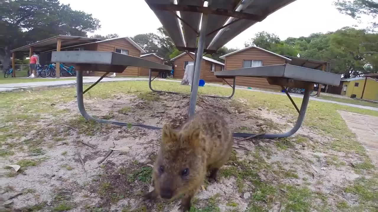 formula1, quokka, rottnest island, World Happiest Animal: Quokka on Rottnest Island Perth GIFs