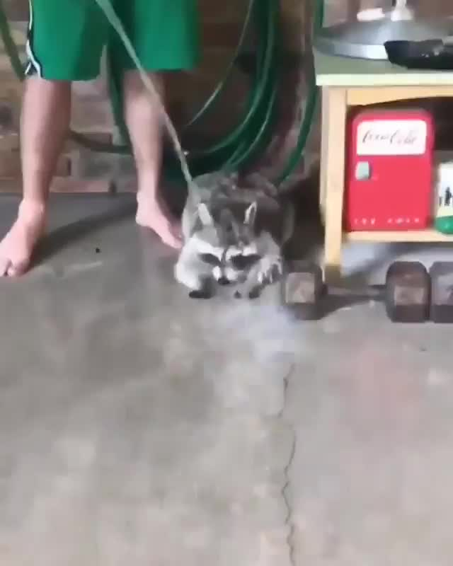 Trash panda must wash his paws GIFs