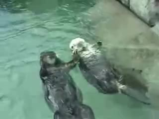 Otters holding hands GIFs