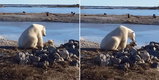 Watch and share Polarbear GIFs and Animal GIFs by Vinegret on Gfycat
