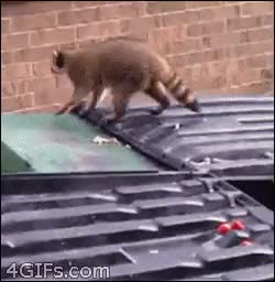 Watch raccoon GIF on Gfycat. Discover more related GIFs on Gfycat