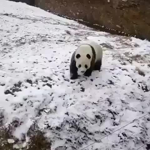 Watch and share Panda Having Some Fun.  GIFs by LimeLights  on Gfycat