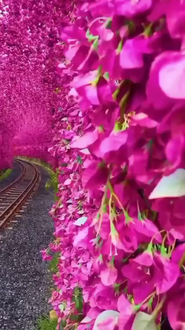 Watch and share Beautiful Cherry Blossoms In Yuchi, Taiwan GIFs by SPECTRIN on Gfycat