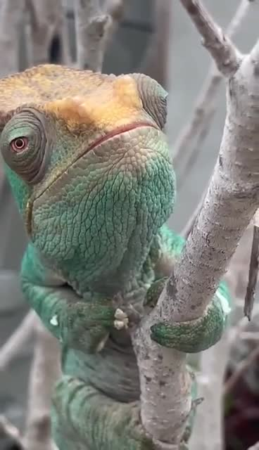 chameleon, Chameleon eyes by remote control GIFs