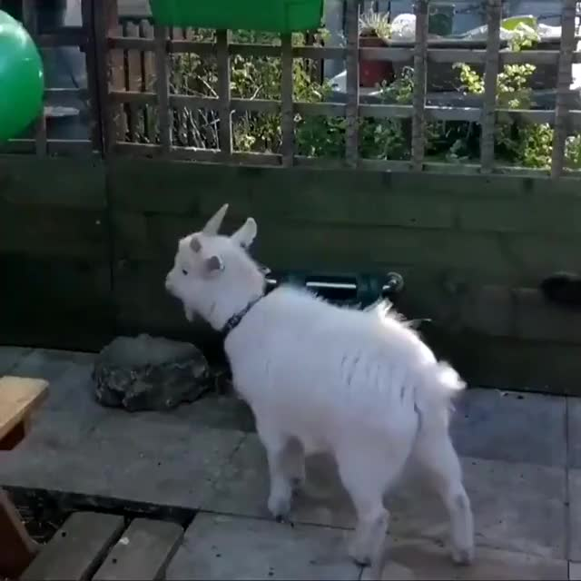 Watch and share Goat Page GIFs on Gfycat