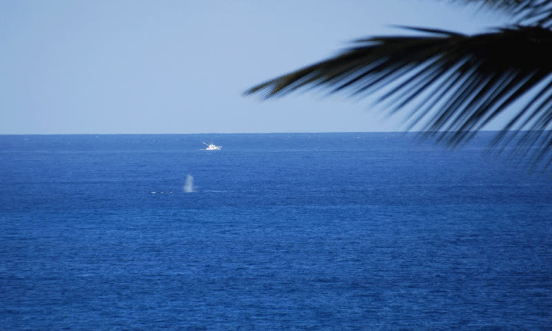 Whales off the Maui coast GIFs