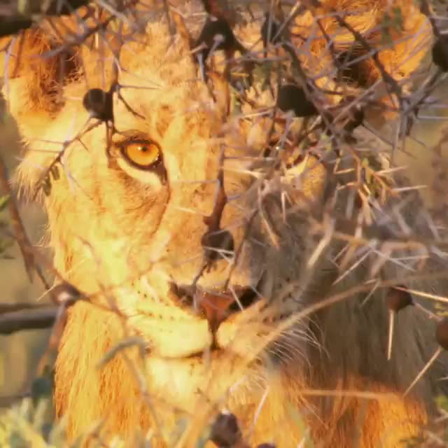 bigcat, cat, cats, lion, Video by natgeowild GIFs
