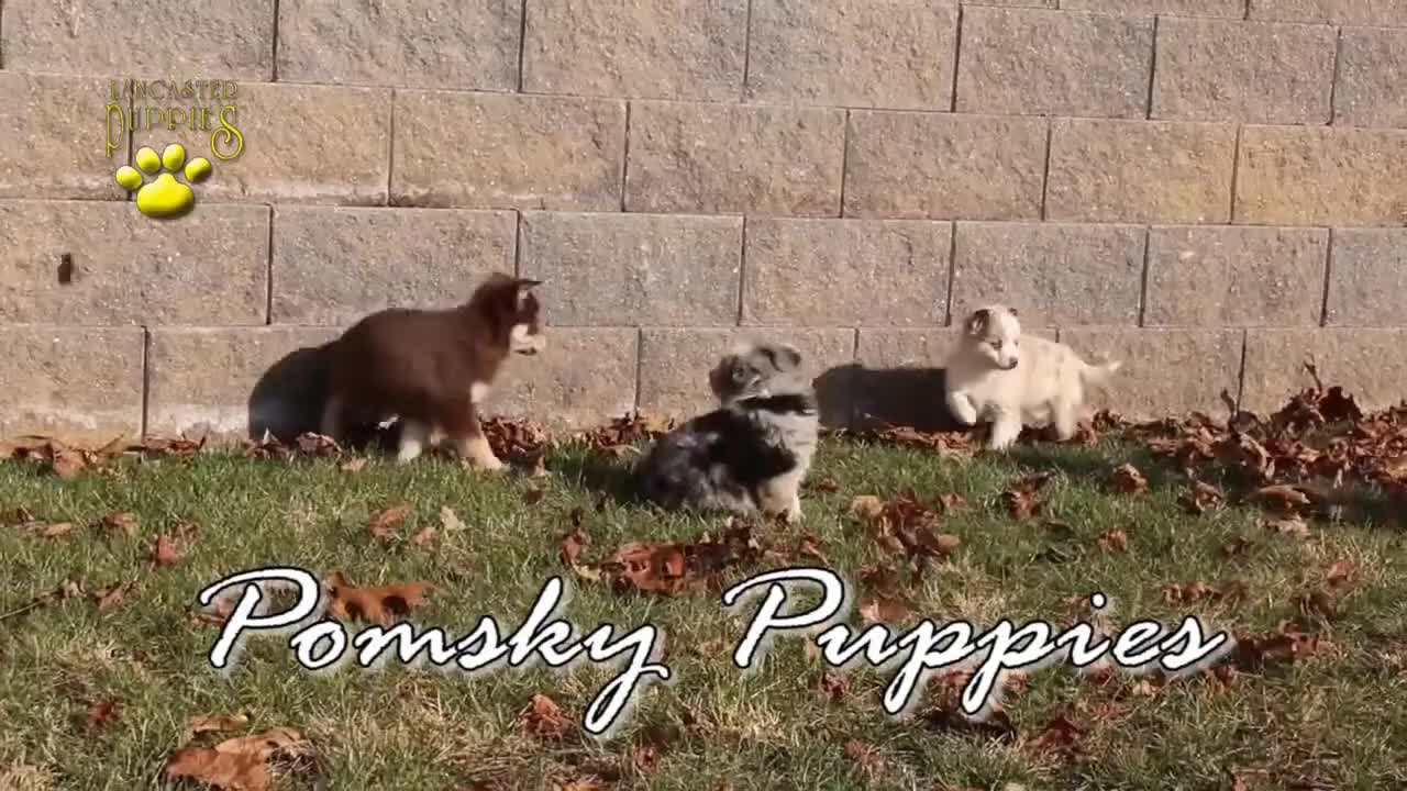 Dog, Doggie, Pups, animals, cuddly, cute, doggy, dogs_of_youtube, pets, playful, pomsky, pup, sweet, video, Pomsky Puppies GIFs