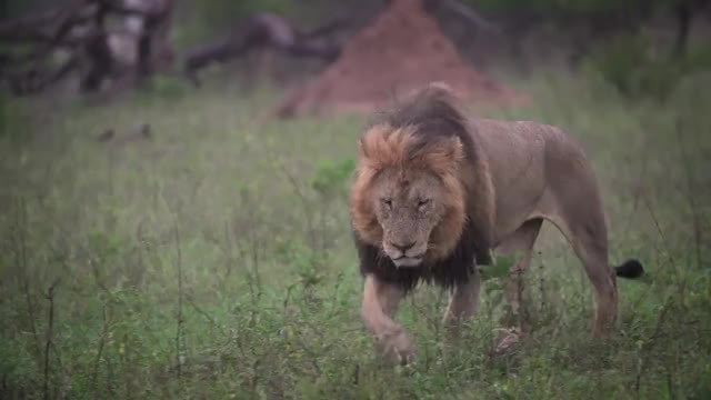 Watch Birmingham Walking GIF by Londolozi Game Reserve (@londolozi) on Gfycat. Discover more related GIFs on Gfycat