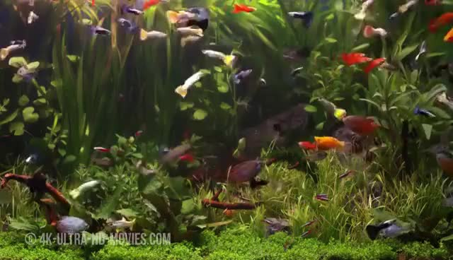 Watch and share Aquarium 4K The Beautiful South American Aquarium GIFs on Gfycat