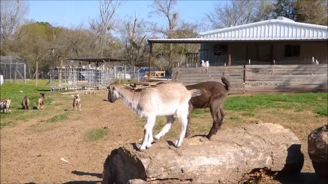 Watch I Can Do Better GIF by KNS Farm (@knsfarm) on Gfycat. Discover more funny, goatparkour, knsfarm GIFs on Gfycat